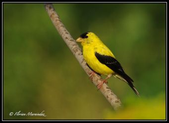 Goldfinch 5 by Ptimac