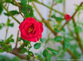 74. Lonely rose by FrancescaDelfino