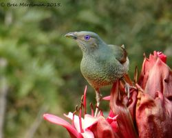 Female BowerBird II by BreeSpawn