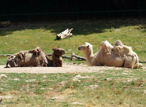 Camels by LaMoccacino