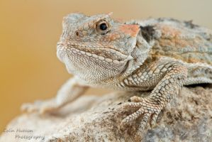 Greater short-horned lizard - Phrynosoma hernandes by ColinHuttonPhoto