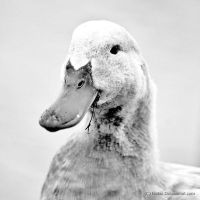 Snow Covered Duck by Kahnave