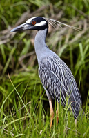 Yellow Crowned Night Heron 002 by Elluka-brendmer