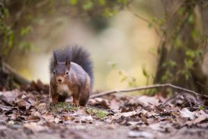 Squirrel by Blubdi-Photography