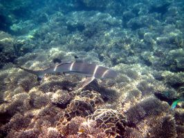 reef shark by ernungo