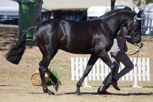 STOCK - 2014 TotR Arabians-54 by fillyrox