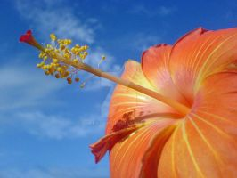 Hibiscus in the Sky by JuCfatLIPS