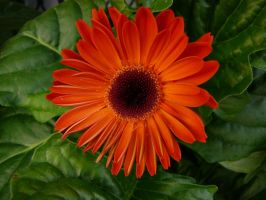 Orange Flower and Leaves Stock by Enchantedgal-Stock