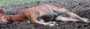 053 : Sleeping Foal by Nylak-Stock