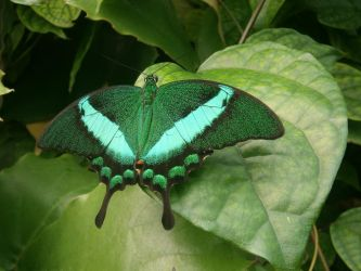 Emerald Butterfly by Khov97