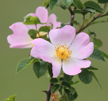 Dog Rose by S4MMY4RT
