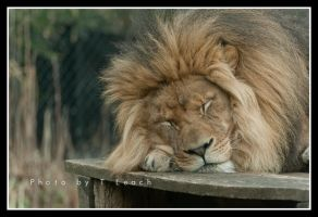 The Lion Sleeps by tleach0608