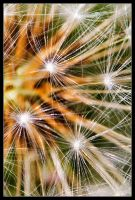 Dandelion Abstracted by Wivelrod