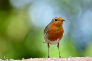 Curious Robin by Lady---Vengeance