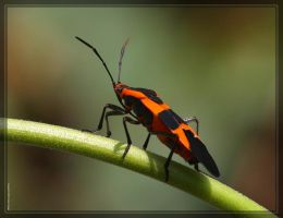 Large Milkweed Bug 40D0013476 by Cristian-M