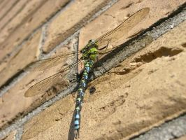 Racy Dragonfly by Dowlphin
