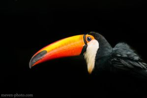 Toucan 1 by brijome