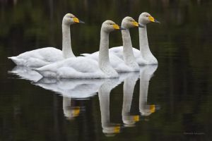 Together , Whopper swans in a small forest lake by roisabborrar
