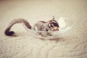 sugar glider 3 by Cvet04ek
