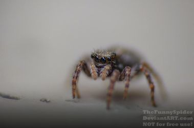 Fully grown female pseudeuophrys lanigera by TheFunnySpider