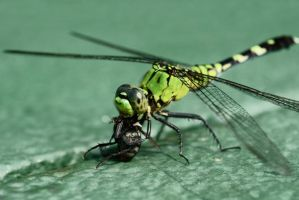 Dragonfly by mannphotos