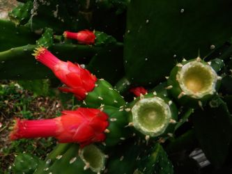 Cuban Cactus Blooming by vick330