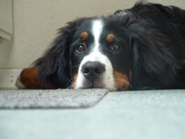 Bernese Mountain Dog 3 by MBInc