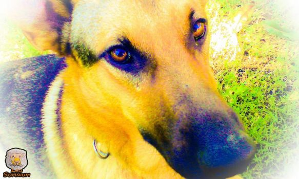 One of the several German Shepherds by LeoSomnium