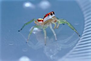Striped Jumping Spider 2 by Anrico