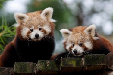0448 - Baby Red Panda by Jay-Co