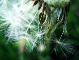 dandelion by siliconperfection
