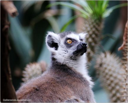 013- Ring-tailed lemur by SilkenWinds