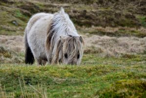 Dartmoor pony III by LuxLucie