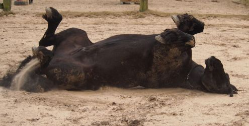 frisian horse rolling in the sand by Nexu4