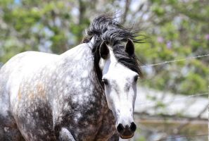 Dappled Grey Andalusian  3 by xxMysteryStockxx