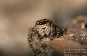 Male Sitticus floricola - Portrait by TheFunnySpider