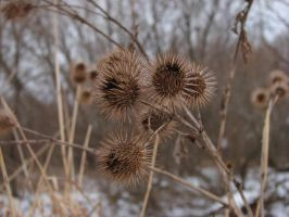 Burrs by asaph70
