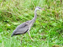 GREY HERON by Iris-cup