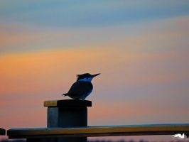 Kingfisher On Sunset Rail by wolfwings1
