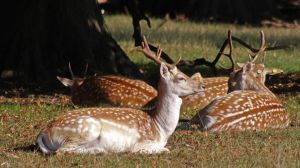 Resting Stag by fuguestock