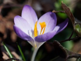 crocus by CeaSanddorn