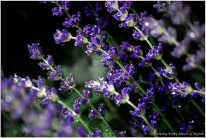 Drops on the lavender by brijome