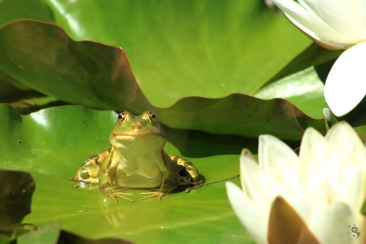 Frog at the pond #12 by sleepingFrog