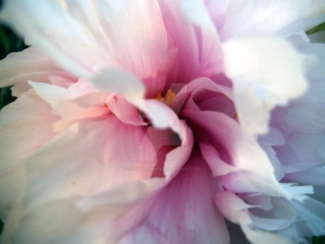 Peony Rose by Daydreamings