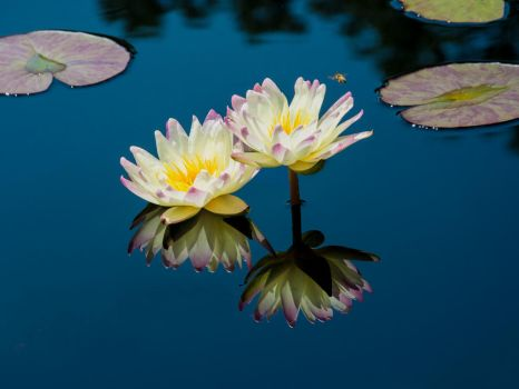 Nymphaea 04 by Meenigma