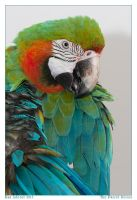 The Parrot Series VII by Aderet