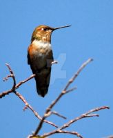 Hummingbird perched in tree by houstonryan