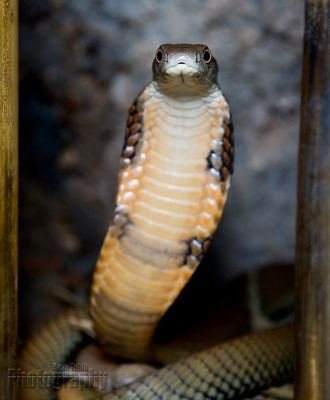 King Cobra by ST77