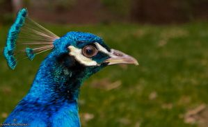 portret of a peacock by framafoto