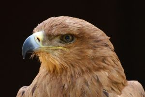 Tawny Eagle by FurLined